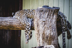 Beautiful and powerful white leopard resting in the sun Stock Photo