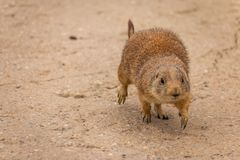 A beautiful prairie dog Cynomys ludovicianus royalty free stock images
