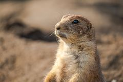 Beautiful prairie dog is looking anxiously and attentive. royalty free stock photos