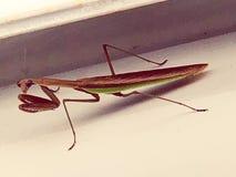 A beautiful praying mantis stock images