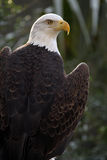 Beautiful Predator. Closeup of a Bald Eagle spreading his wings against a blurred background Royalty Free Stock Photo
