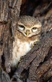 Owl. Beautiful predator birds. Live in tree burrows Royalty Free Stock Image