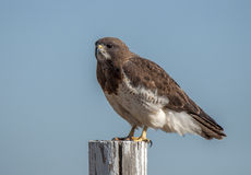 Swainson`s Hawk. A beautiful predatory Swainson`s Hawk perches on a weathered fence post in an eastern New Mexico prairie Royalty Free Stock Photography