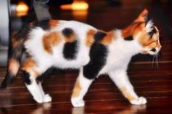 Beautiful / pretty calico cat / kitten stock photos