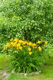 Gorgeous yellow lily flower on green background. Beautiful pretty flowers decorate a  rural garden stock photos