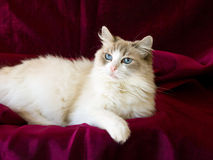 Beautiful pretty Ragdoll cat Royalty Free Stock Photography