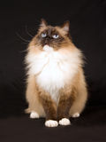 Beautiful pretty Ragdoll cat on black Stock Photography