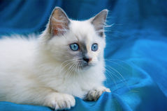 Beautiful pretty Ragdoll kitten on blue Stock Photo