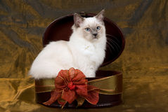 Beautiful pretty Ragdoll kitten bronze background Royalty Free Stock Photos
