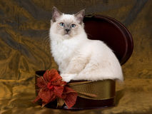 Beautiful pretty Ragdoll kitten bronze background Stock Photos