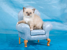Beautiful pretty Ragdoll kitten on chair Stock Images