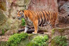 Beautiful pretty sad angry tiger is standing on stone rock under the rain. Holidays vacation tours best famous sightseeing places. Orange tiger angry cat royalty free stock photos
