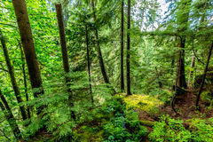 A Beautiful Primeval Rain Forest with Mystical Cedar Trees Royalty Free Stock Photography