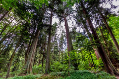 A Beautiful Primeval Rain Forest with Mystical Cedar Trees Stock Images