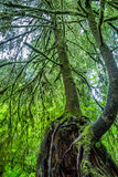 A Beautiful Primeval Rain Forest with Mystical Cedar Trees Royalty Free Stock Images
