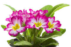 Beautiful primrose Royalty Free Stock Photography