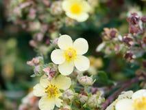 Beautiful primrose like flower wild outside garden up close stock images
