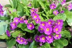 Beautiful primula flowers Stock Photography