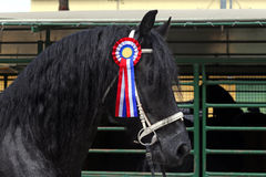 Beautiful prize-winning purebred friesian horse Stock Image