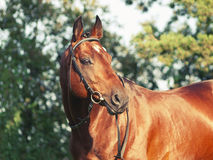 Beautiful prizer Trakehner stallion. Outdoor sunny evening Royalty Free Stock Image
