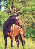 Beautiful prizer Trakehner stallion. Outdoor sunny day Stock Photography