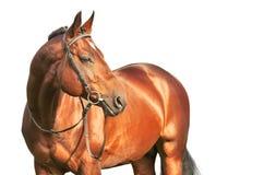 Beautiful prizer Trakehner stallion isolated. Beautiful prizer Trakehner stallion summer sunny evening Stock Photography