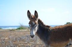 Beautiful Profile of an Aruban Wild Donkey Stock Image