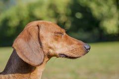 Beautiful profile of a dachshund closing its eyes royalty free stock photos
