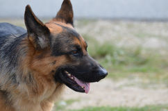 Beautiful Profile of a German Shepherd Dog. Side profile of a German Shepherd dog with his ears perked up Royalty Free Stock Images