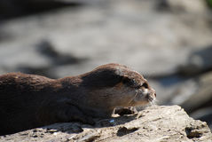 Beautiful Profile of a Giant River Otter on a Log Stock Image