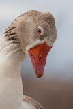 Beautiful profile of a goose Stock Photo