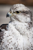 Beautiful profile of a grey and white hawk Stock Image