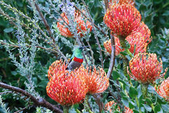 Beautiful Protea flower growing in the wild with its head open. To bright sunlight Royalty Free Stock Images