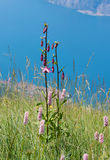 Beautiful protected wildflower lilium martagon, garda lake backg. Beautiful protected lilium martagon, blurry garda lake background. wildflower meadow monte Royalty Free Stock Photo
