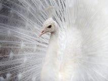 Proud albino peacock bird male tail Stock Photos