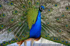 Beautiful proud peacock. Beautiful, majestic, proud peacock with colorful tail exposed royalty free stock images