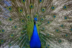Beautiful proud peacock. Beautiful, majestic, proud peacock with colorful tail exposed Stock Photos