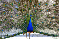Beautiful proud peacock. Beautiful, majestic, proud peacock with colorful tail exposed Stock Image