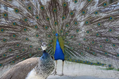 Beautiful proud peacock. Beautiful, majestic, proud peacock with colorful tail exposed royalty free stock photos