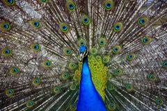 Beautiful proud peacock Stock Image