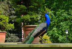 Beautiful proud peacock Royalty Free Stock Photos