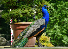 Beautiful proud peacock. Beautiful, majestic, proud peacock with colorful tail exposed Royalty Free Stock Image