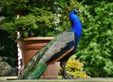Beautiful proud peacock Royalty Free Stock Image