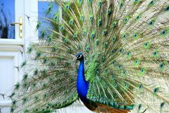 Beautiful proud peacock. Beautiful, majestic, proud peacock with colorful tail exposed Royalty Free Stock Photo