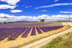 Beautiful Provence with blooming lavander. France Stock Image