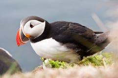 Beautiful puffin bird nesting Royalty Free Stock Image