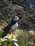 beautiful puffin with chamomiles at Latrabjarg Bird Cliffs stock photography