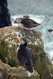 Beautiful puffins on the Iceland Stock Images