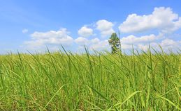 Beautiful puffy cloud on blue sky in young green paddy rice field and tree. Landscape summer scene background.  royalty free stock photos
