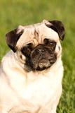 A beautiful Pug dog. A pug dog sitting in the grass Stock Photos